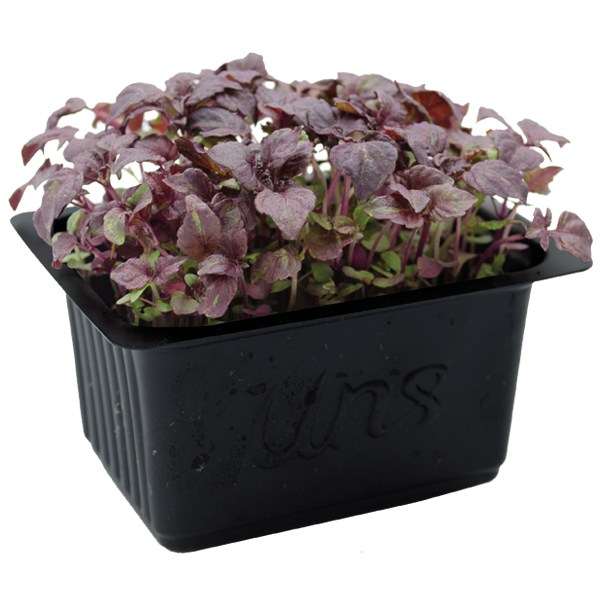 Red Shiso Cress