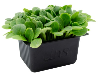 Oyster Cress