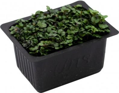 Cabbage Cress