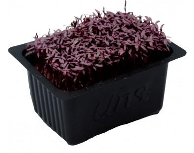 Red Amaranth Cress